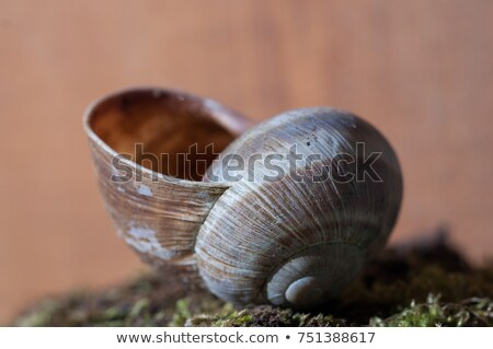 空っぽ カタツムリ シェル ブラウン ボディ 面白い ストックフォト © nailiaschwarz