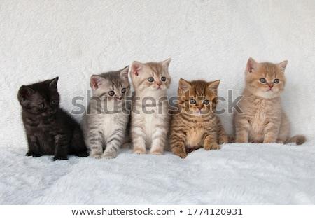 英国の 子猫 白 赤ちゃん 背景 ペット ストックフォト © vlad_star