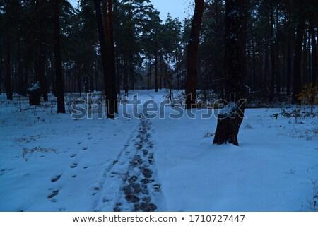 Keskeny út fenyőfa erdő hó fa Stock fotó © akarelias