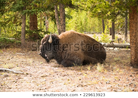 Bison resting in the nature Stock photo © aetb