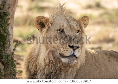 Feeding Lion 1 Stock photo © bradleyvdw
