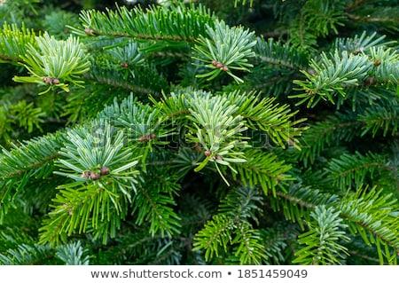 Evergreen piantagione estate impianti Foto d'archivio © Discovod