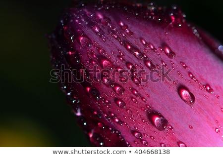 赤 · チューリップ · 春 · 雨 · スプリンクラー · 虹 - ストックフォト © taden