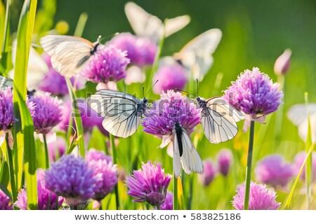 Lahana kelebek çalı ağaç doğa Stok fotoğraf © rhamm