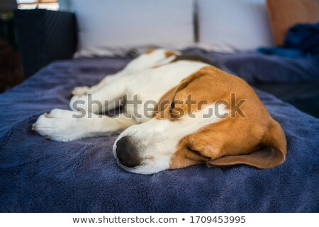 Dog Asleep Outdoors Stock photo © 2tun