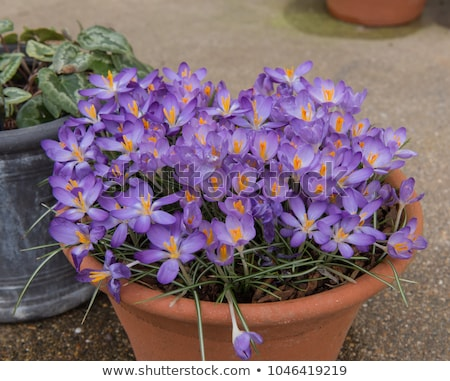 Group of purple crocus Stock photo © phila54