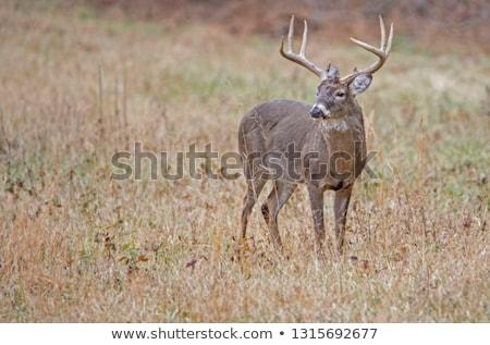 鹿 · バック · 立って · 自然 · 動物 · 男性 - ストックフォト © brm1949