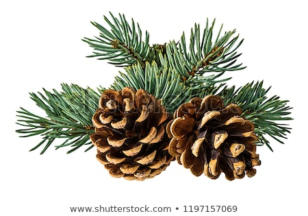 Pine cones on branches on white Stock photo © Sandralise