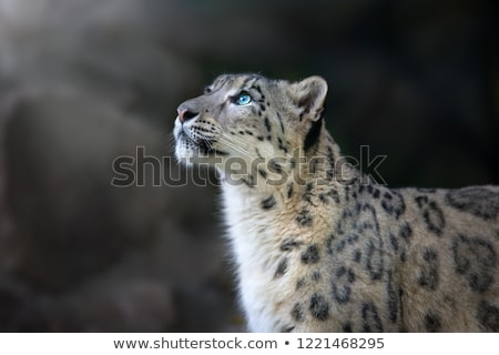 Snow leopard stock photo © Yuran