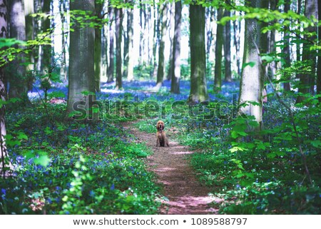 bluebells in a wooded area stock photo © chrisga
