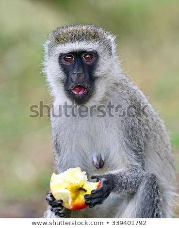 Siyah maymun ağaç yüz gözler doğa Stok fotoğraf © ajn