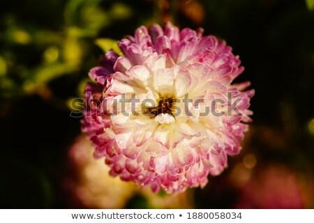 red  primroses' macro shot, spring flower stock photo © Marfot