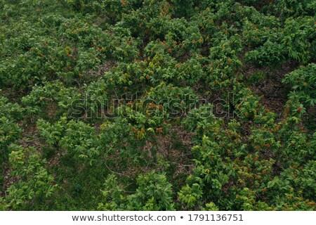 Crescita cacao cioccolato frutta impiccagione albero Foto d'archivio © Kacpura