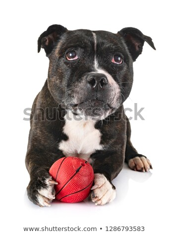 Staffordshire Terrier in a dark studio with ball Stock photo © vauvau