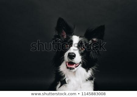 Alb amuzant câine întuneric studio fericit Imagine de stoc © vauvau