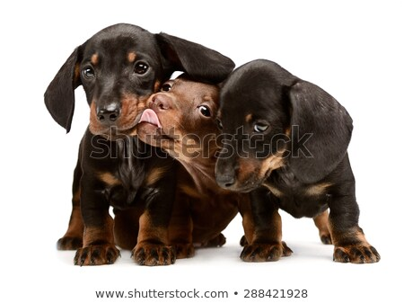 three lovely puppy dachshunds staying side by side in white stud Stock photo © vauvau