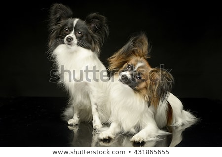 two papillons in the black photo studio background stock photo © vauvau