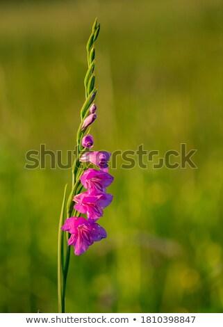 oranje · zwaard · lelie · tuin · water · voorjaar - stockfoto © homydesign
