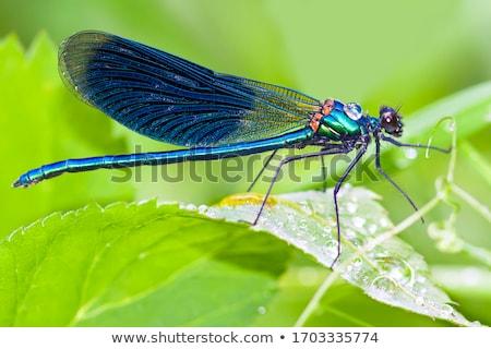 Foto stock: Libélula · sessão · prado · insetos · verão · natureza
