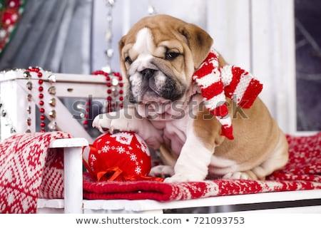 kutyakölyök · mikulás · angol · bulldog · visel · jelmez - stock fotó © cynoclub