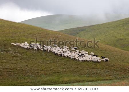 Stock fotó: Nyáj · birka · testtartás · szürke · hegyek