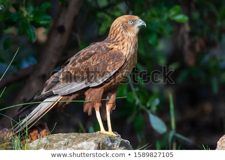 western marsh harrier looking for prey Stock photo © taviphoto