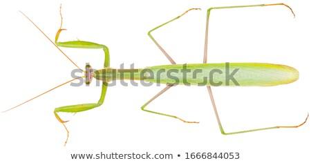 Zöld sáska rovar biológia izolált fehér háttér Stock fotó © asturianu