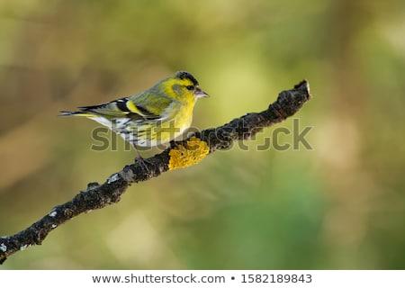 Female eurasian siskin bird in the winter Stock photo © manfredxy