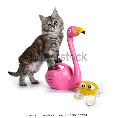 Cute tortie Maine Coon kitten with beach toys on white stock photo © CatchyImages