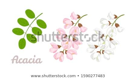 Acacia on white Stock photo © AGfoto