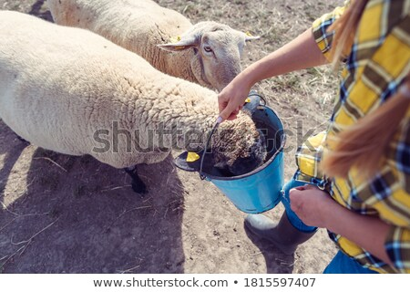 Sheep eating being fed by the farmer Stock photo © Kzenon