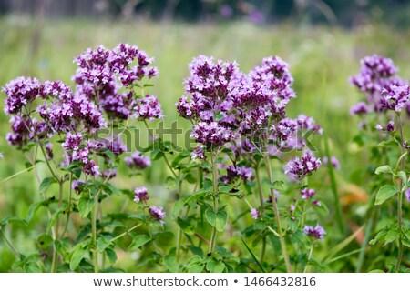 Oregano kwiaty świeże kwitnąć kwiat Zdjęcia stock © meodif