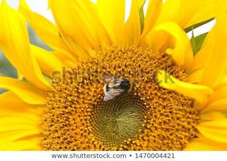 Poszméh napraforgó izolált friss dolgozik virágok Stock fotó © johnnychaos
