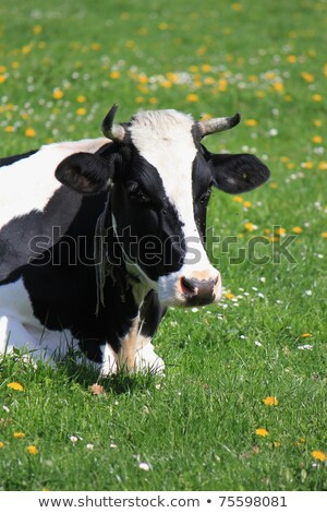 Cows of Fribourg canton, Switzerland,  Stock photo © Elenarts