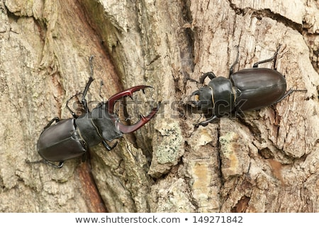 Female stag beetle Stock photo © digitalr