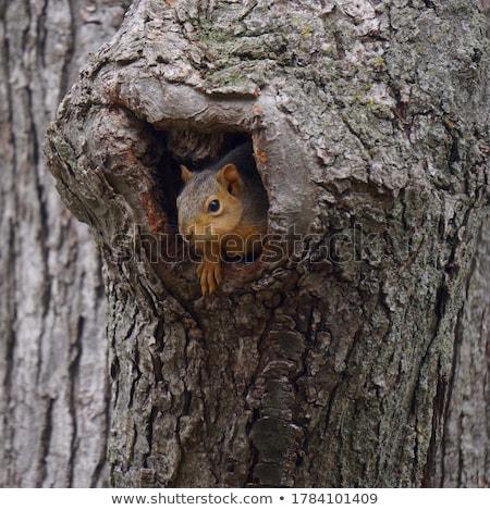 Sincap ağaç kırmızı orman doğa saç Stok fotoğraf © ryhor