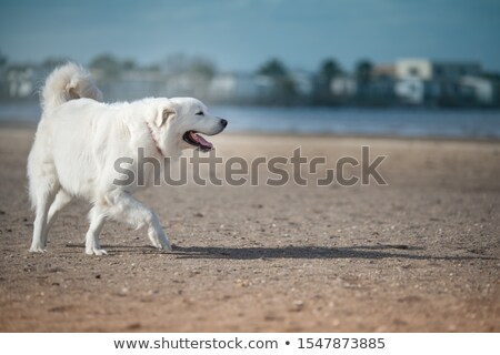 Chien de berger portrait blanche chien belle animal Photo stock © cynoclub
