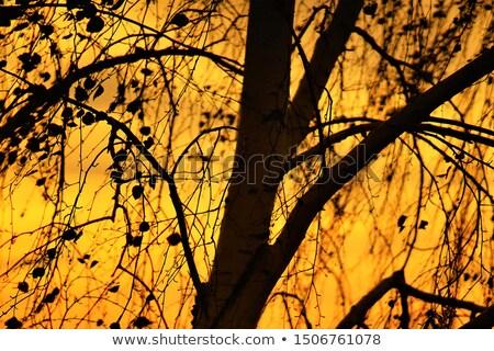 Birch Trunks silhouetted against the sky Stock photo © wildnerdpix