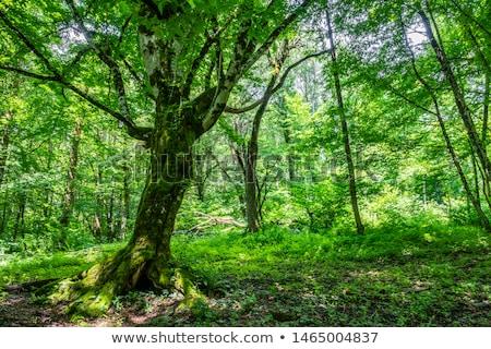 forêt · arbre · herbe · nature · paysage · arbres - photo stock © taviphoto