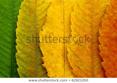 Maple Leaf весны аннотация дизайна Сток-фото © rogerashford