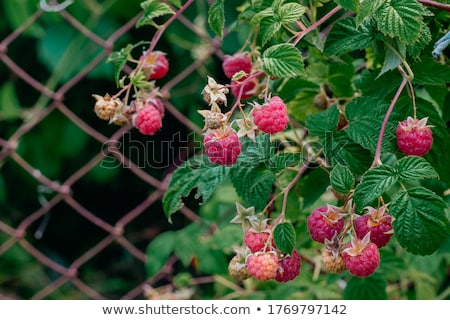 Raspberry shrub Stock photo © vavlt