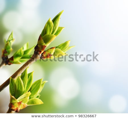 twig with spring buds stock photo © mahout