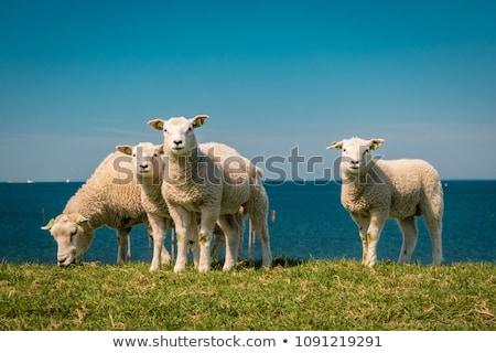 羊 · いくつかの · 雲 · 草 · 雲 · 青空 - ストックフォト © hofmeester