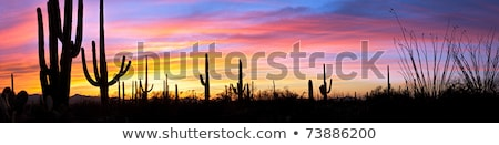 silhouette of cactus in Desert sunset lit sky  Stock photo © meinzahn