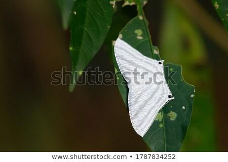 Micronia Aculeata white moth Stock photo © Yongkiet