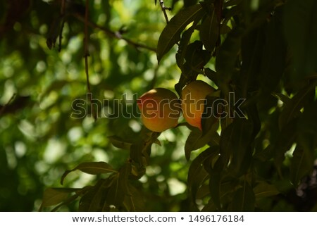 Fresco pêssegos quadro completo comida jardim laranja Foto stock © Lio22