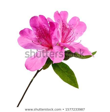 Roze witte azalea bloesem park Stockfoto © Julietphotography