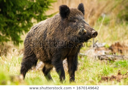 wild boar standing on clearing Stock photo © taviphoto