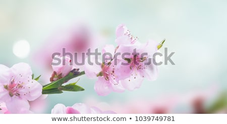 cherry blossoms close up stock photo © olandsfokus