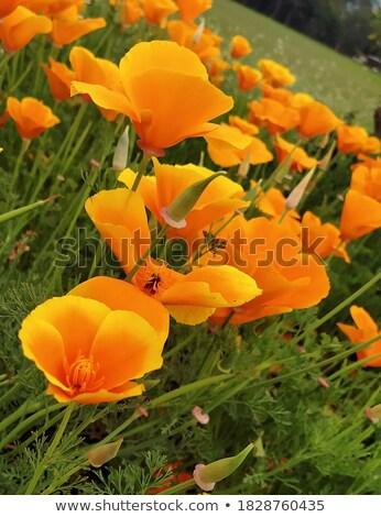 Bright orange Californian poppy  Stock photo © sarahdoow